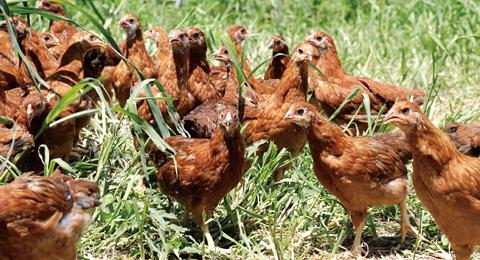 比内地鶏の飼育