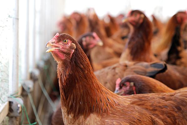 比内地鶏の様子の様子