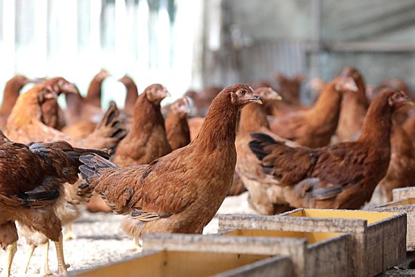新鮮な飼料で飼育している比内地鶏