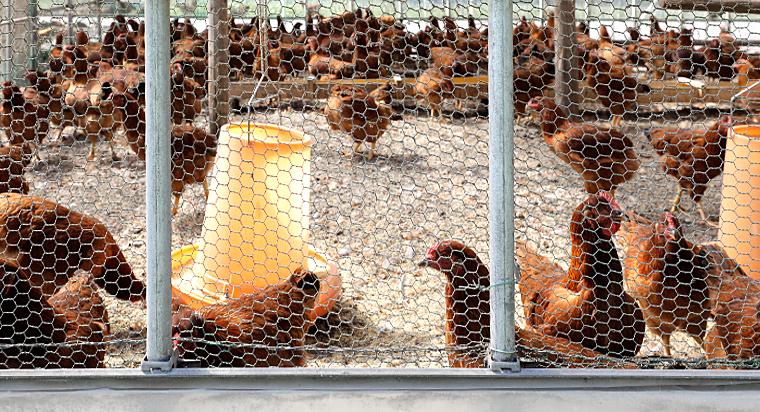 鶏舎団地のパトロール