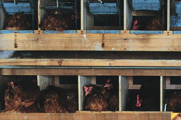 比内地鶏となる卵を生産